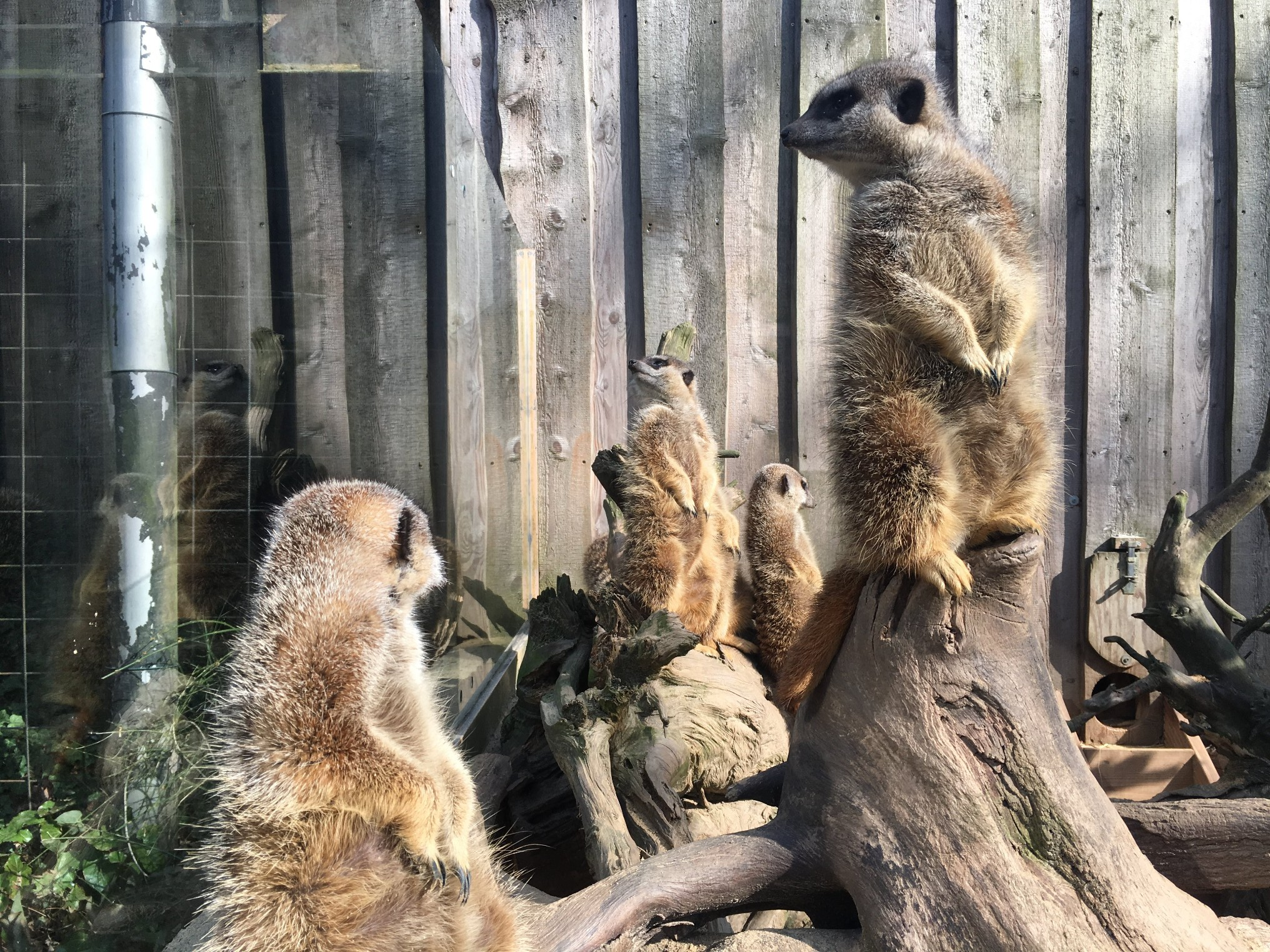 Tierpark Essehof Meerkats