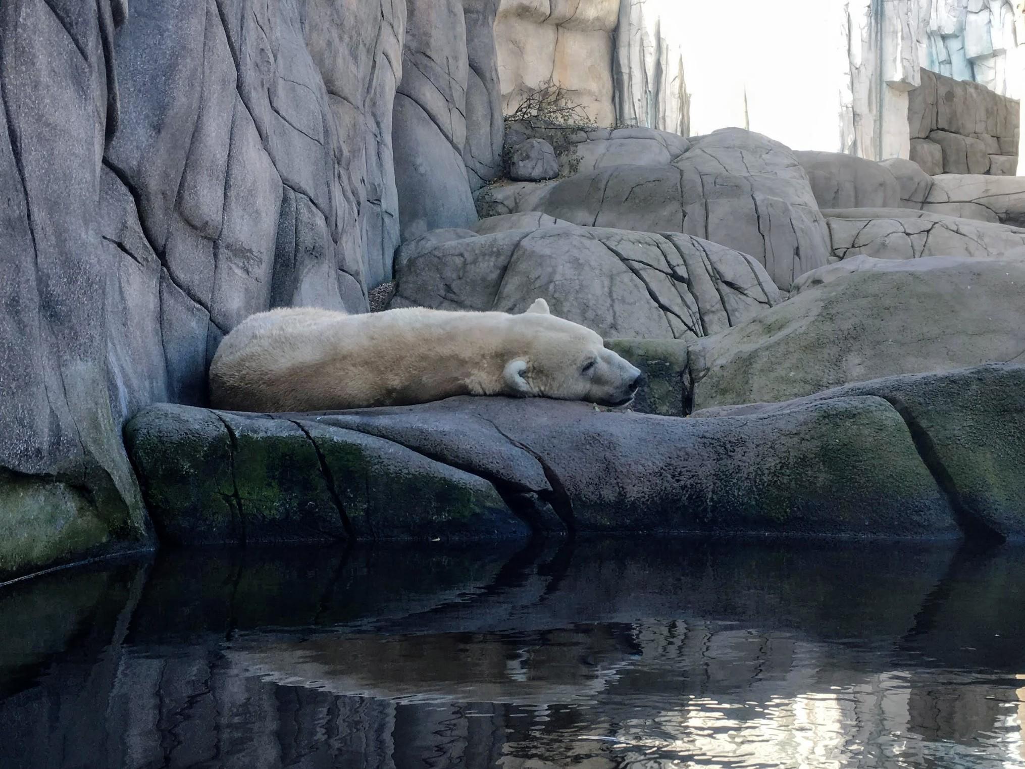 polar bear Tierpark Hagenbeck